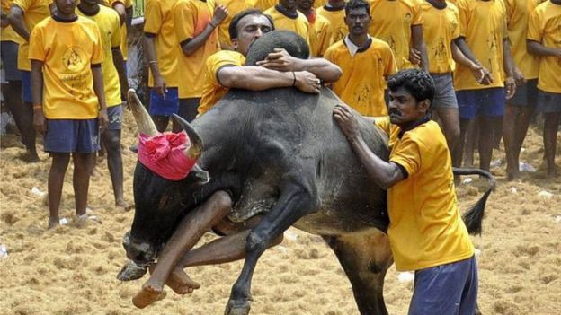 5 người bị húc chết trong lễ hội thuần bò ở Ấn Độ