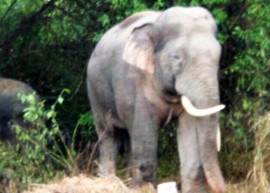 Người dân lo mất Tết vì voi rừng tàn phá rẫy trái cây