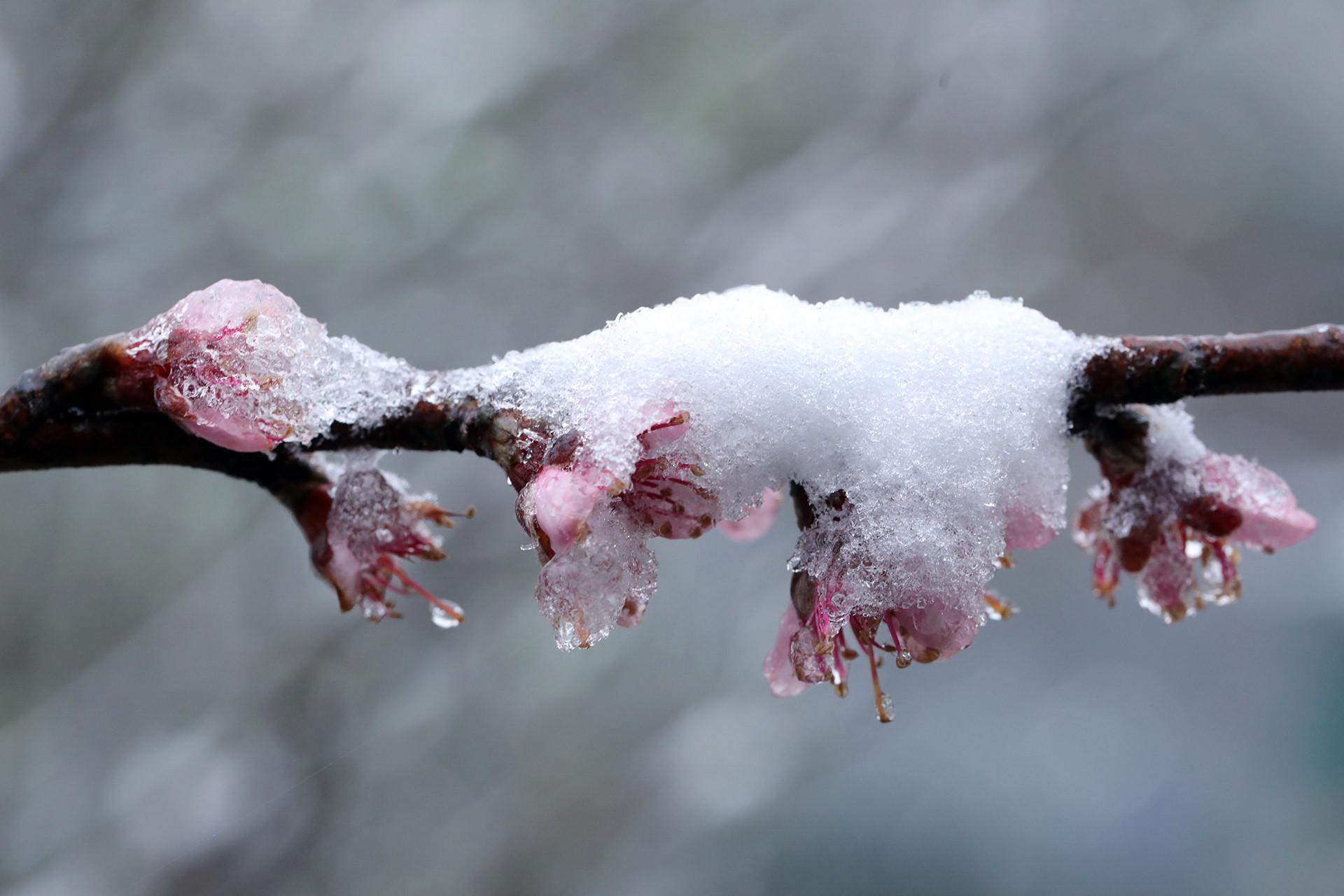 Ảnh macro hoa cỏ bị băng tuyết Sa Pa phủ vùi