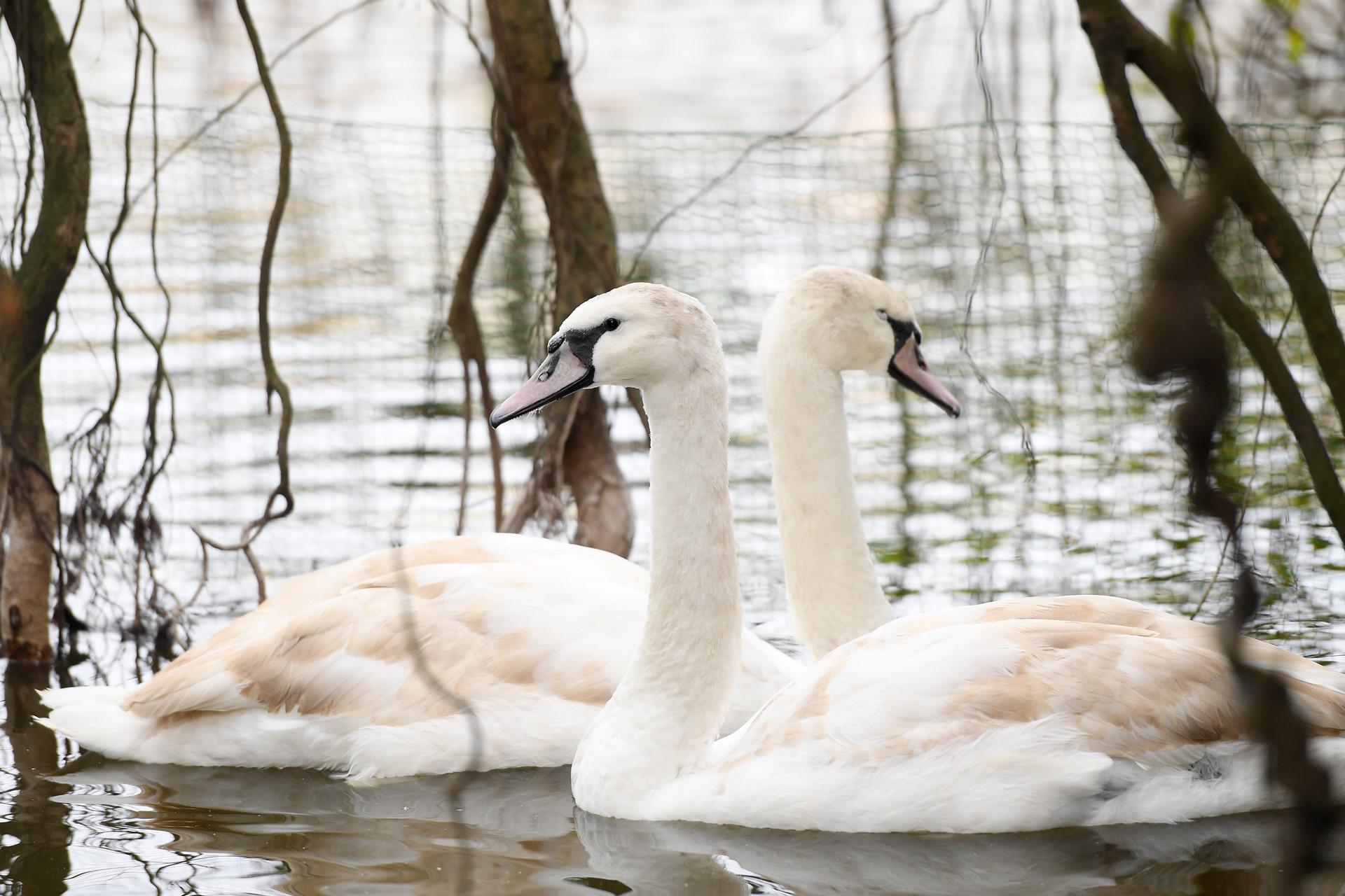 Đàn thiên nga bất ngờ xuất hiện ở hồ Gươm