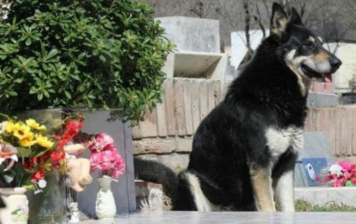 Chú chó trung thành canh bên mộ chủ 10 năm trời, chết vẫn không rời