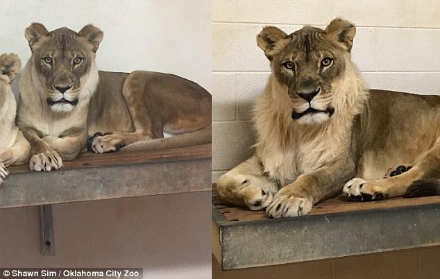 """Sư tử cái 18 tuổi bất ngờ """"chuyển giới"""", mọc bờm như sư tử đực"""
