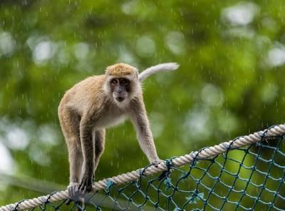 """Khỉ hoang """"bắt cóc"""" trẻ sơ sinh rồi thả xuống giếng"""