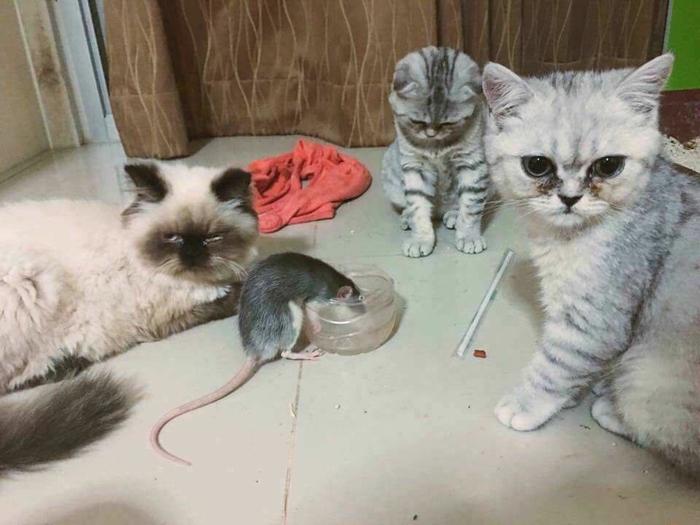 """Mèo bất lực nhìn chuột """"cướp"""" thức ăn trước mặt"""