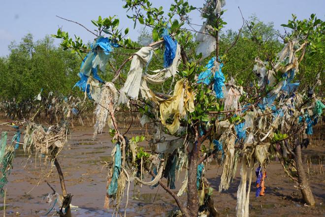 """""""Rừng cây nylon"""" ở Thanh Hóa"""
