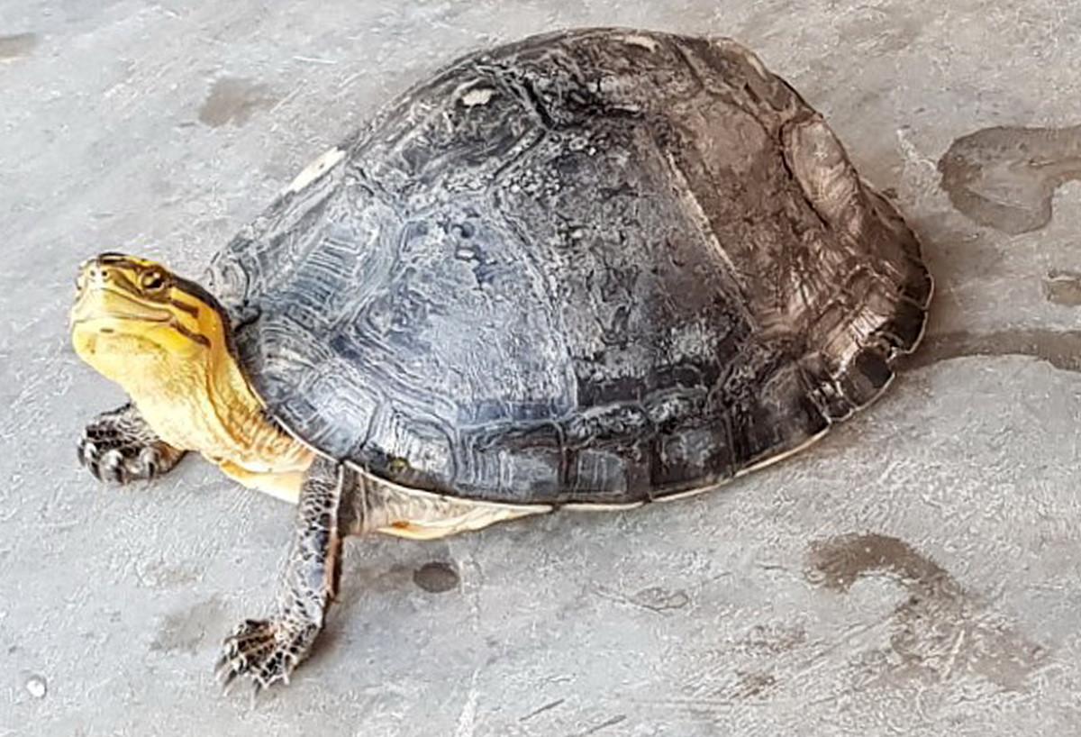 Người nông dân ở Sóc Trăng bắt được rùa hộp quý hiếm