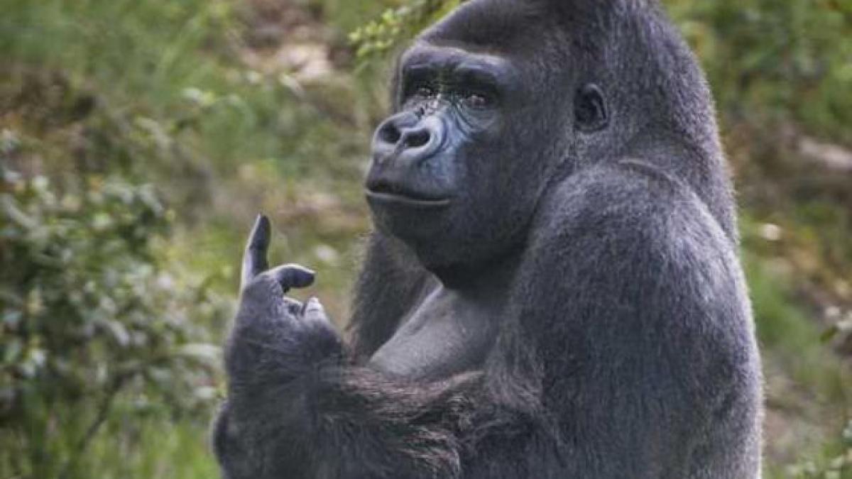 """Khỉ đột giơ """"ngón tay thối"""" về phía du khách"""