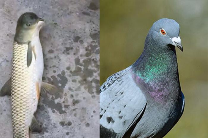 Sinh vật lạ ở Trung Quốc, mình cá chép nhưng đầu giống chim bồ câu