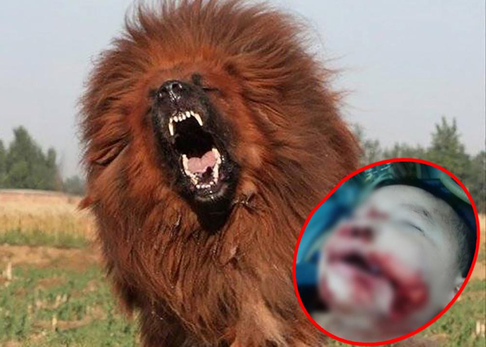 Bị chó ngao Tây Tạng tấn công, bé gái 8 tuổi tử vong thương tâm