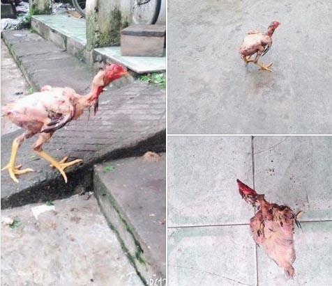 CĐM được phen ôm bụng cười với con gà chạy lon ton dù đã bị vặt lông