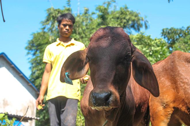 Tặng bò bị lở mồm long móng cho dân nghèo
