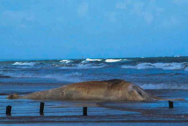 Xác cá voi nặng 10 tấn dạt vào bờ biển Quảng Trị