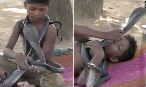 Cậu bé 7 tuổi kết thân và ngủ với rắn hổ mang