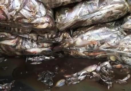 Xe tải chở 3,5 tấn cá để chảy nước thối xuống đường
