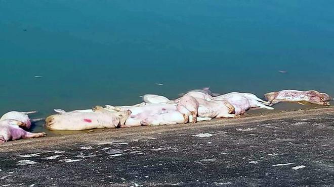 Phát hiện hàng chục con lợn chết chưa rõ nguyên nhân ở Khánh Hòa
