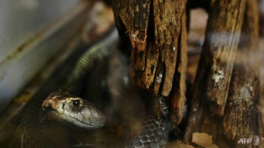 Hãi hùng mảnh đất của những vụ rắn độc rình rập tấn công trong đêm