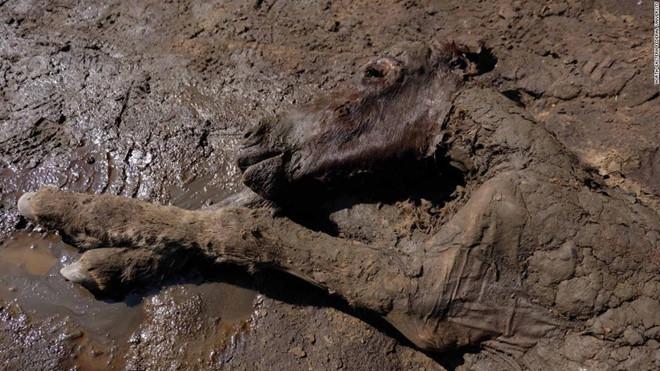 Phát hiện máu và nước tiểu lỏng trong xác ngựa 42.000 năm tuổi