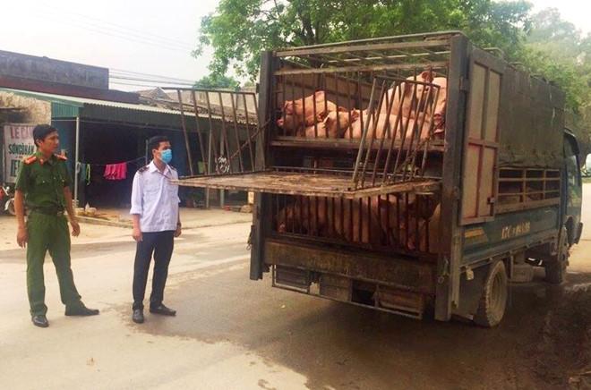Xe tải chở 60 con lợn ốm từ vùng dịch đi tiêu thụ