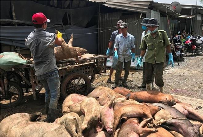 Lợn bệnh vứt la liệt trong rừng tràm ở TP.HCM