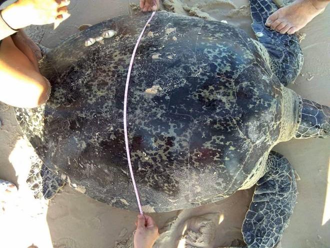 Rùa biển nặng hơn 100 kg mắc lưới ngư dân