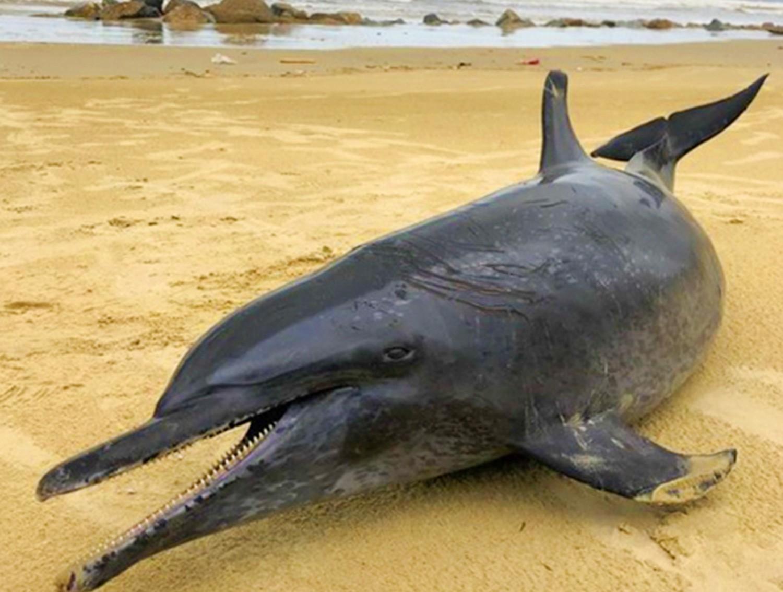Cá heo 60 kg dạt vào bờ biển Quảng Ngãi