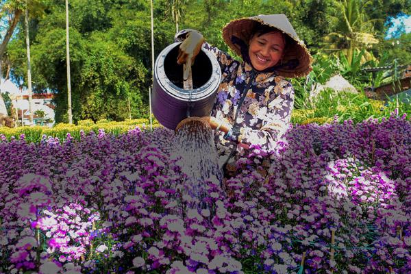 Dân Quảng Ngãi bội thu nhờ trồng hoa cúc dịp Tết
