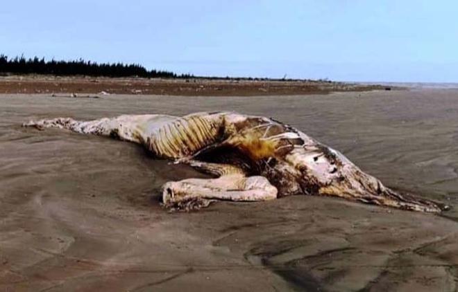 Xác cá voi nặng hơn 10 tấn dạt vào bờ biển Ninh Bình