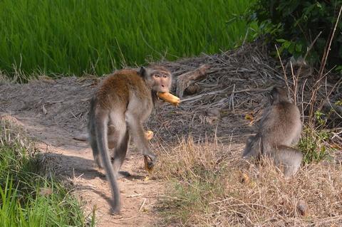 Khỉ xổng chuồng cắn nhiều người ở Sóc Trăng