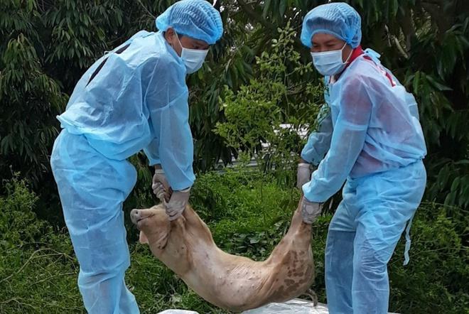 Tiêu hủy 43 con lợn dương tính dịch tả châu Phi