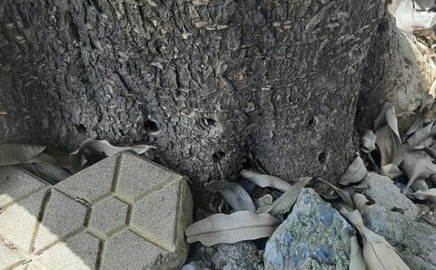 Cây lâu năm chết khô với nhiều lỗ khoan ở gốc