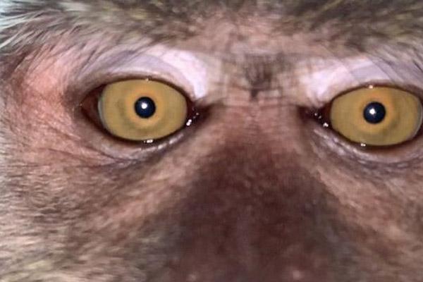 Phát hiện loạt ảnh selfie của khỉ trên điện thoại ở Malaysia