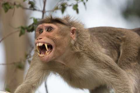 Tây Ninh phê duyệt kế hoạch di dời đàn khỉ khỏi tòa thánh