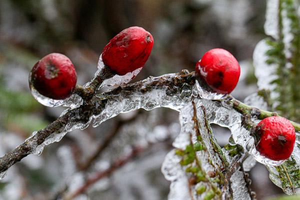 Khoảnh khắc băng giá đọng trên cây ngày rét 0 độ C