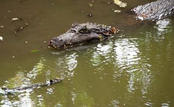 Phát hiện 2 con cá sấu bơi trong hồ nước ngay khu dân cư?