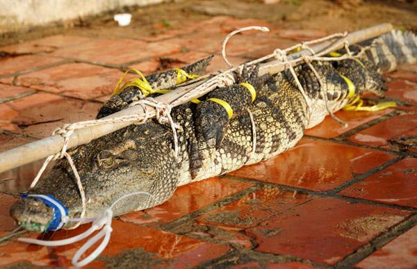 Bắt được cá sấu dài 2 m trong hồ nước ở Vũng Tàu