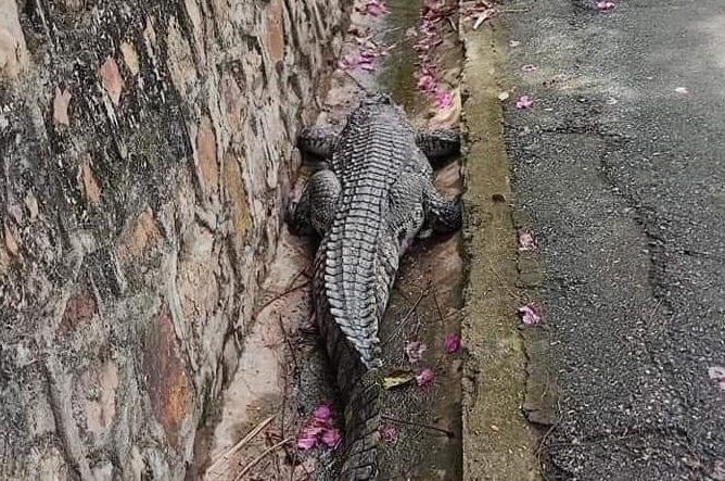 Cá sấu dài gần 1 m sổng chuồng ở Đồ Sơn
