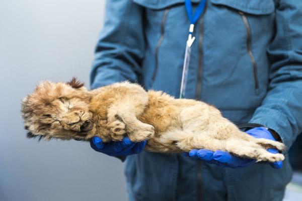 Phát hiện sư tử còn nguyên nội tạng sau 28.000 năm đóng băng