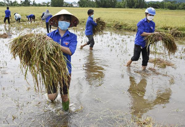 Thanh niên Quảng Ngãi gặt lúa giúp dân sau bão số 5