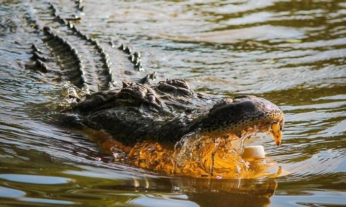 Cảnh sát tìm thấy bộ phận thi thể người trong bụng cá sấu ở Mỹ